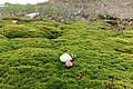 Настоящие мхи (clumps of moss).jpg