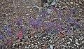 Одна из осенних расцветок Скумпии кожевенной.JPG