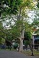 Платан західний (Одеса, сквер Пале-Рояль, № 1) P1260002.jpg