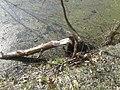 Річка Стохід,парк відпочинку навесні, дерева погризені бобрами 04.jpg