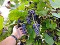 Синий дальневосточный виноград ф5.JPG