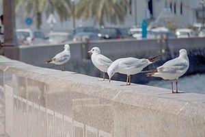 رفتار مرغان دریایی نوروزی یا یاعو در کشور عمان، شهر مسقط، ساحل دریای عمان - عکس مصطفی معراجی 17.jpg