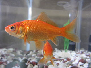 Common goldfish breed of goldfish, a form of domesticated wild carp