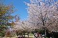 吉野山 中千本公園 2014.4.15 - panoramio.jpg
