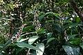 山月桃仔 Alpinia intermedia Gagn. - panoramio.jpg