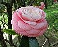 山茶花-重瓣玫瑰型 Camellia japonica Double Rose Form -日本京都植物園 Kyoto Botanical Garden, Japan- (26727402417).jpg