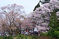 御幸の芝 吉野山にて 2014.4.12 - panoramio.jpg