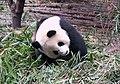 成都熊貓基地 Chengdu Panda Base - panoramio (2).jpg