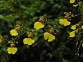 文心蘭屬 Oncidium goldiana Golden Shower -新加坡植物園 Singapore Botanic Gardens- (9216069396).jpg