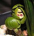 春蘭碧玉圓荷 Cymbidium goeringii 'Green Jade Round Lotus' -香港沙田國蘭展 Shatin Orchid Show, Hong Kong- (12317107754).jpg