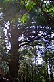 杉の大木 - panoramio.jpg