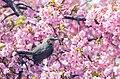 河津桜とヒヨドリ - Flickr - nubobo.jpg