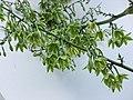 縫線麻(萬年麻) Furcraea foetida -新加坡濱海灣花園 Gardens by the Bay, Singapore- (24327417544).jpg