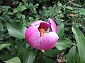 芍藥屬 Paeonia broteroi -巴黎植物園 Jardin des Plantes, Paris- (9159260044).jpg