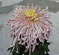 菊花-纓絡型 Chrysanthemum morifolium Pendant-tubular-series -香港雲泉仙館 Ping Che, Hong Kong- (9252462181).jpg