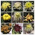 菊花 Chrysanthemum morifolium Cultivars 2 -上海嘉定匯龍潭公園 Jia Ding, Shanghai- (12099660566).jpg