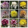 菊花 Chrysanthemum morifolium Cultivars 3 -上海嘉定匯龍潭公園 Jia Ding, Shanghai- (12116178676).jpg