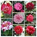 華東山茶 Camellia japonica East China Group -深圳園博園茶花展 Shenzhen Camellia Show, China- (28418208309).jpg