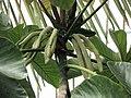 號角樹屬 Cecropia glaziovii -倫敦植物園 Kew Gardens, London- (9226997373).jpg