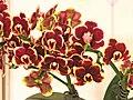 蝴蝶蘭 Phalaenopsis Lioulin Sparrow 'Taida Violet Butterfly' -台南國際蘭展 Taiwan International Orchid Show- (39129454740).jpg