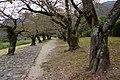錦川岸老樹 Old trees on the bank of Nishiki River - panoramio.jpg
