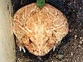 黃金角蛙 Ceratophrys cranwelli albino - panoramio.jpg