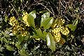 - Mahonia aquifolium 04 -.jpg