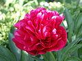 0305 Pfingstrose PICT5159.JPG