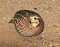 071 - NORTHERN BOBWHITE (1-15-09) falcon lake st park, tx (8718708333).jpg
