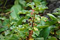 10472709-Ribes fragrans-1.jpg