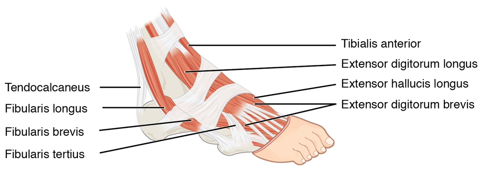 1124 Intrinsic Muscles of the Foot a