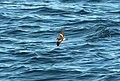 148 - LEACH'S STORM-PETREL (9-15-2918) MAS pelagic trip, out of bar harbor, me -01 (44106789154).jpg