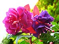 1852 - Salzburg - Mirabellgarten - Roses.JPG
