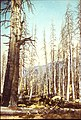 1916 - Ghost Forest - lodgepole pine killed by mountain pine beetle following the 1890s lodgepole needleminer outbreak near Tenaya Lake, Yosemite National Park, California (47086255881).jpg