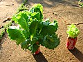 20. Oct.2010. Effect of diluted urine on lettuce. Classroom~1 (5621515597).jpg