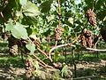 20110816Letzenberg Wein14.jpg