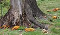 2012-09-25 Omphalotus illudens (Schwein.) Bresinsky & Besl 270109.jpg