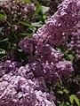2014-05-18 11 29 33 Lilac in Elko, Nevada.JPG