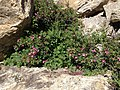 2014-06-23 15 26 07 Rosa woodsii at the Entrance Overlook in Lamoille Canyon, Nevada.jpg