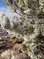 2014-12-18 09 00 52 Rime on pine boughs after freezing fog in Elko, Nevada.JPG
