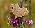 2014.07.16.-02-Woellnau Winkelmuehle--Grosses Ochsenauge-Weibchen.jpg