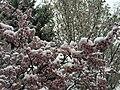 2015-04-08 07 55 47 A wet spring snow on Purple-leaf Plum blossoms along Pine Street in Elko, Nevada.jpg