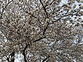 2015-04-10 16 45 12 Japanese Cherry blossoms on Cheshire Court in Sterling, Virginia.jpg