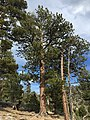 2015-04-30 16 02 44 Ponderosa Pine along the Trail Canyon Trail in the Mount Charleston Wilderness, Nevada about 1.7 miles north of the trailhead.jpg