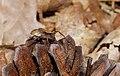 2015.07.02.-04-Schwarzbach Doberschuetz--Wolfspinne-Pardosa lugubris s. str.-Weibchen.jpg