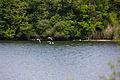 2015 05 24 Deutschland Baden-Württemberg Landkreis Sigmaringen Naturschutzgebiet Zielfinger Vogelsee (10).jpg