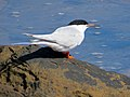 2016-08-17 Sterna dougallii, St Marys Island, Northumberland 01.jpg