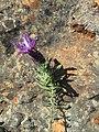2017-04-06 French lavender (Rosmaninho-maior), Malhão, Albufeira (1).JPG