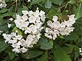 2017-05-17 17 40 34 Mountain Laurel blossoms near Forge Creek and Forge Creek Road in Great Smoky Mountains National Park, within Blount County, Tennessee.jpg