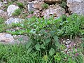 2017-07-23 (45) Atropa belladonna (deadly nightshade) at Dürrenstein (Ybbstaler Alpen).jpg